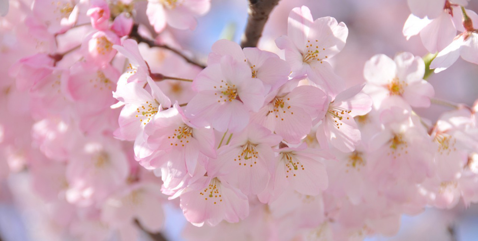Japan at Cherry Blossom Time