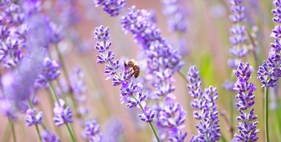 Tasmania Lavender Fields