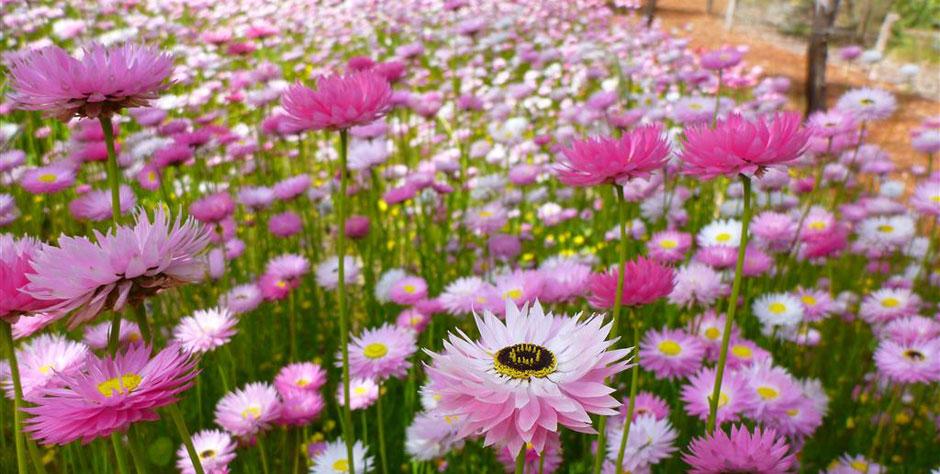 Wa Wildflowers Ross Garden Tours